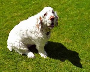 Clumber Spaniel Info, Temperament, Training, Puppies, Pictures