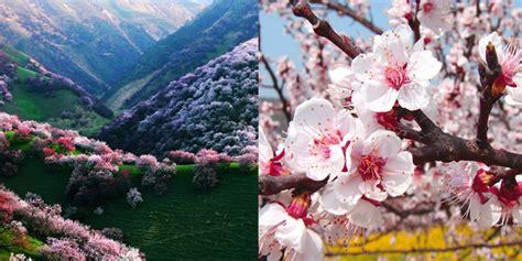 musim semi tiba lembah china  berubah jadi lautan