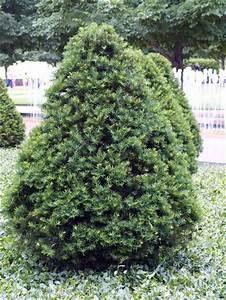 Taxus cuspidata 'Capitata' - Upright Japanese Yew ...