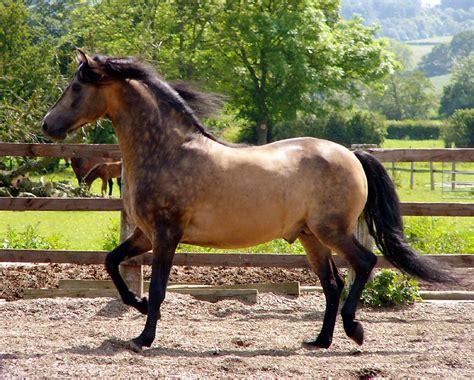 morgan horse pictures weneedfun