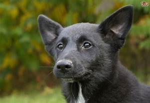 Canaan Dog Dog Breed Information, Buying Advice, Photos ...