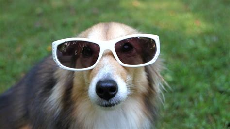 funny dogs wearing sunglasses funnycom