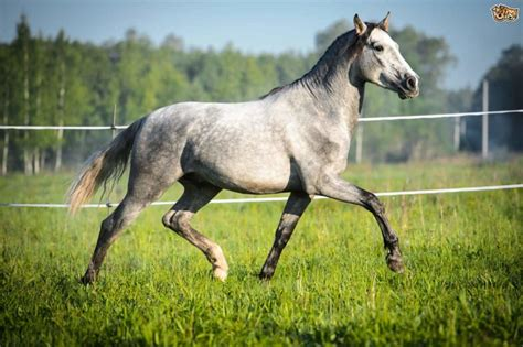 horse andalusian breed breeds spanish iberian expensive linked peninsula race special royalty been long