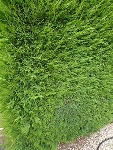 Leyland Zypresse Kaufen : cupressocyparis leylandii g nstig in top baumschulqualit t kaufen baumschule new garden ~ Frokenaadalensverden.com Haus und Dekorationen