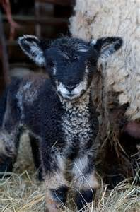 Cute Baby Lamb Animals
