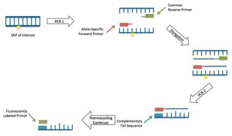 kompetitive allele specific pcr wikipedia