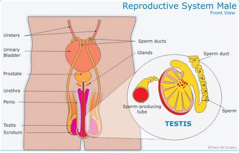 sexual reproduction pass  exams easy exam revision