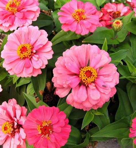 zinnia profusion flowers photo  fanpop