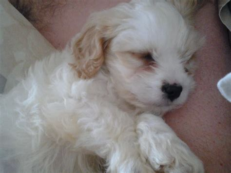 weeks  apricot  cream male cavapoo puppy