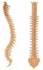 U1408 Spinal Cord Diagram With Labels Stock Vectors  Royalty