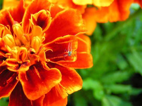 les fleurs et plantes anti moustiques or 233 ane