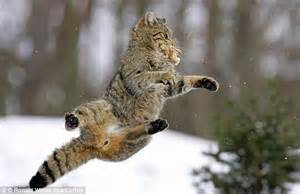 cats domestic european germany cat bird agile wildcat animals powerful animal wild air mid midair jump action hunters birds mouth