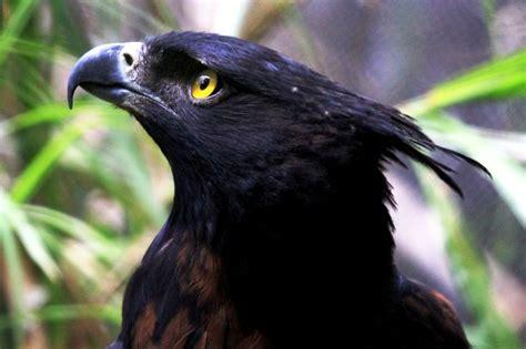 birds  colombia black  chestnut eagle nature eagle pinterest bird