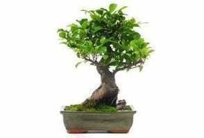 Comment Tailler Un Ficus : tailler correctement un bonsa ficus libertalia ~ Melissatoandfro.com Idées de Décoration