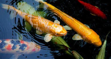 types  pond fish paradise ponds  ed dedicke