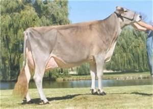 Brown Swiss Show Cow