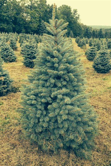 awesome picture of evergreen christmas tree farm