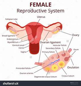 Labeled Structure Of Ovary | MedicineBTG.com