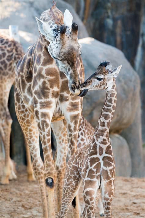 houstons  baby giraffe