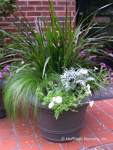 grasses for containers 63 best images about outstanding in containers on pinterest gardens planters and museum of art