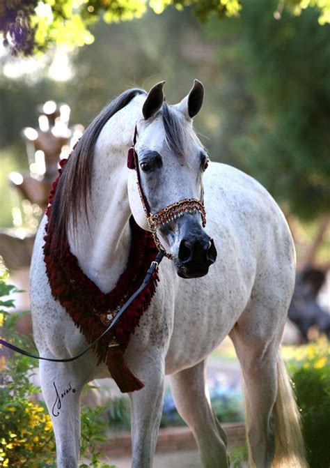 horses horse arabian breeds royal pretty