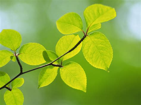 Fresh green leaves theme Desktop Wallpapers 19 Preview ...