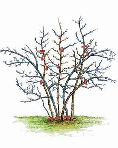Wann Schneidet Man Hortensien Zurück : stachelbeere pflanzen pflege und tipps mein sch ner ~ Lizthompson.info Haus und Dekorationen