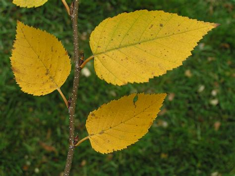 trees with yellow leaves in fall fall birch tree leaf leaves summer leaves fall fruit bud
