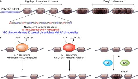 nucleosome positioning  saccharomyces cerevisiae