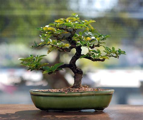 bonsai umtopfen anleitung bonsai zeitgen 246 ssisch bonsai anleitung bonsai z 252 chten anleitung bonsai samen anleitung bonsai