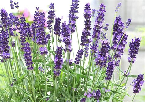 Flower Bulbs And Perennial Plants Direct