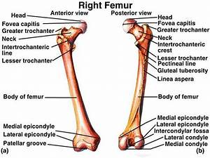 Femur Anatomy   Bony Landmarks  U0026 Muscle Attachment  U00bb How