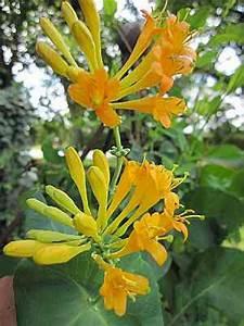 Kletterpflanzen Immergrün Winterhart : lonicera golden trumpet r 60 100 cm gei blatt ~ Michelbontemps.com Haus und Dekorationen