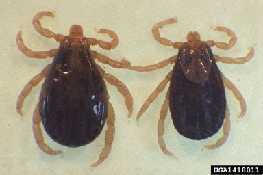 winter tick ticks   home entomology uw