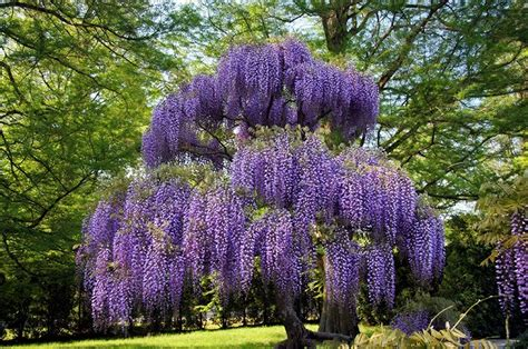 purple wisteria  sale   tree center