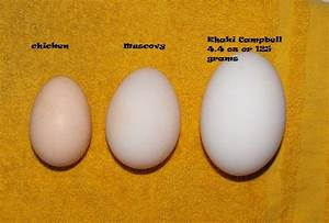 For fun, comparison of Muscovy and Call duck egg