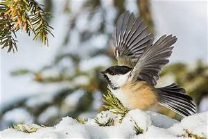 Black-capped Chickadees | Christopher Martin Photography