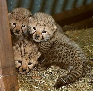 cheetah cubs playing peekaboo | Animals | Pinterest