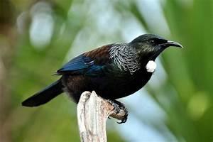 Native NZ Birds