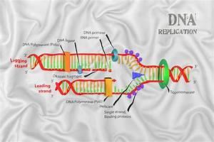 Dna Replication Stock Vector  Illustration Of Human