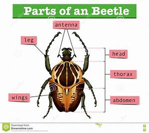 Diagram Showing Different Parts Of Beetle Stock Vector