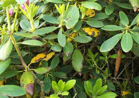 pilz garten gelb rhododendron park wachwitz 83 krankheiten pilzbefall