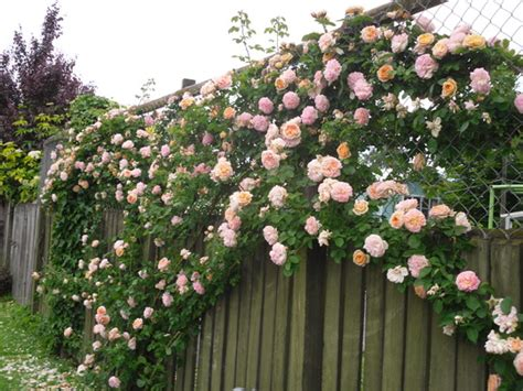 plants that climb fences defensive garden plants