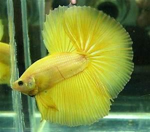 yellow Halfmoon Betta Fish Betta Fish