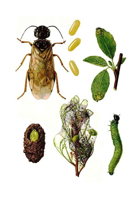 http://www.faunaromaniei.ro/daunatori/daunatorii-arborilor-fructiferi/hymenoptere/