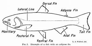 The Fisheries Blog  The Adipose Fin  Old Mysteries With New Answers