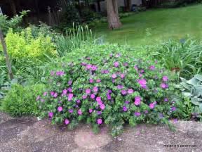 Hardy Geraniums Perennials