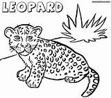 Leopard Coloring Pages Snow Baby Print Animal Template Pdf Kitten Comments Coloringhome Results sketch template