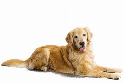 Retriever Golden Dog Sitting Breeds Breed Pluspng