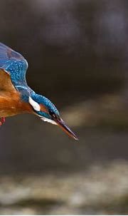 Free download Common Kingfisher Wallpaper Latest Hd ...